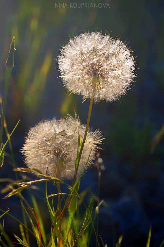 dandelion golden hour 1 1000 px.jpg