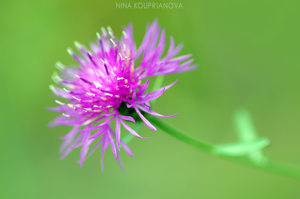 purple mountain flower 1 1000 px.jpg