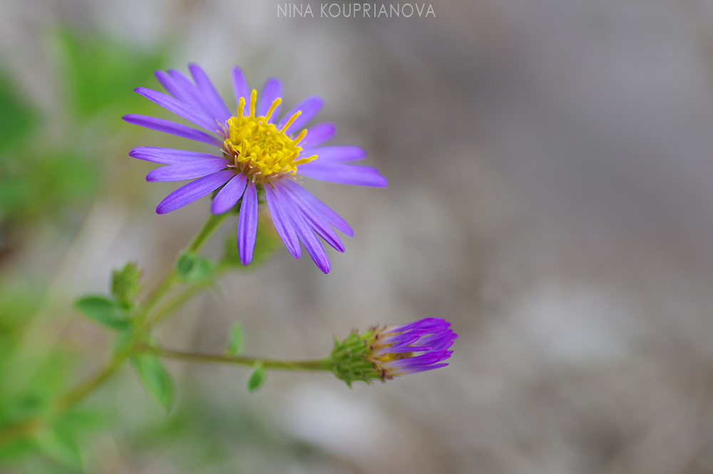purple mountain flower 2 1000 px.jpg
