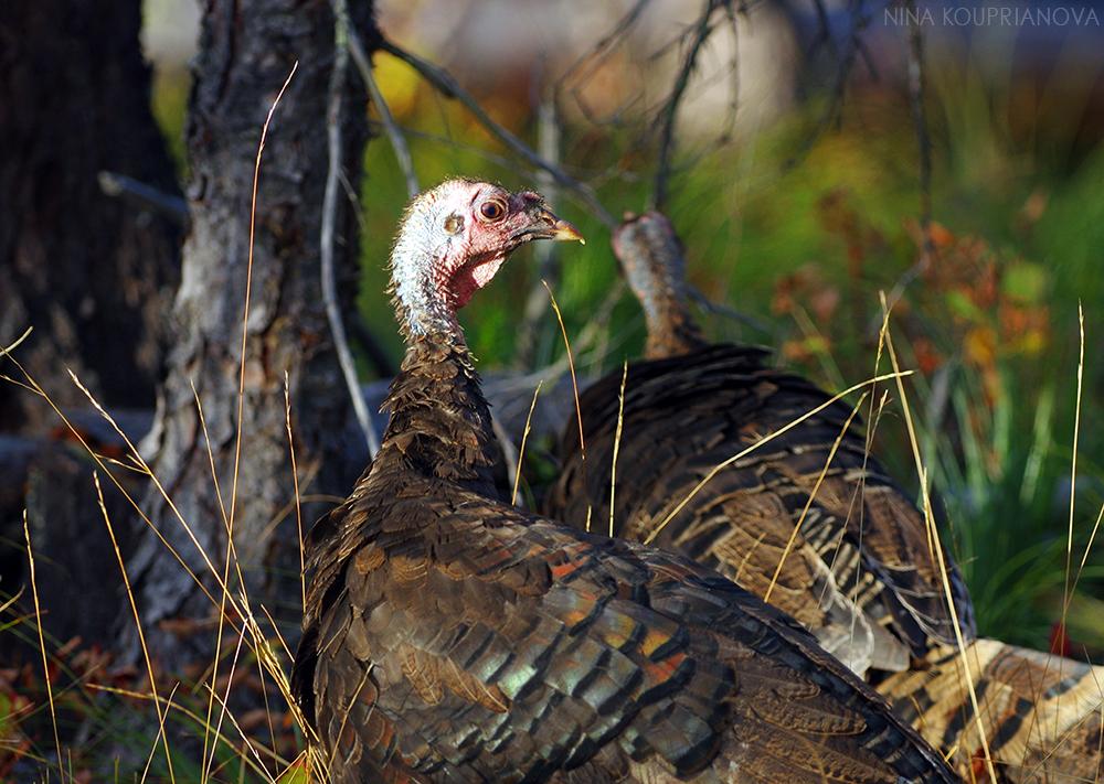 turkeys 4 1000 px url.jpg