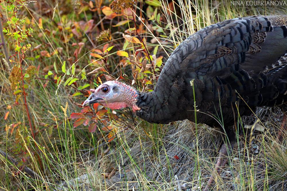 turkeys 7 1000 px url.jpg