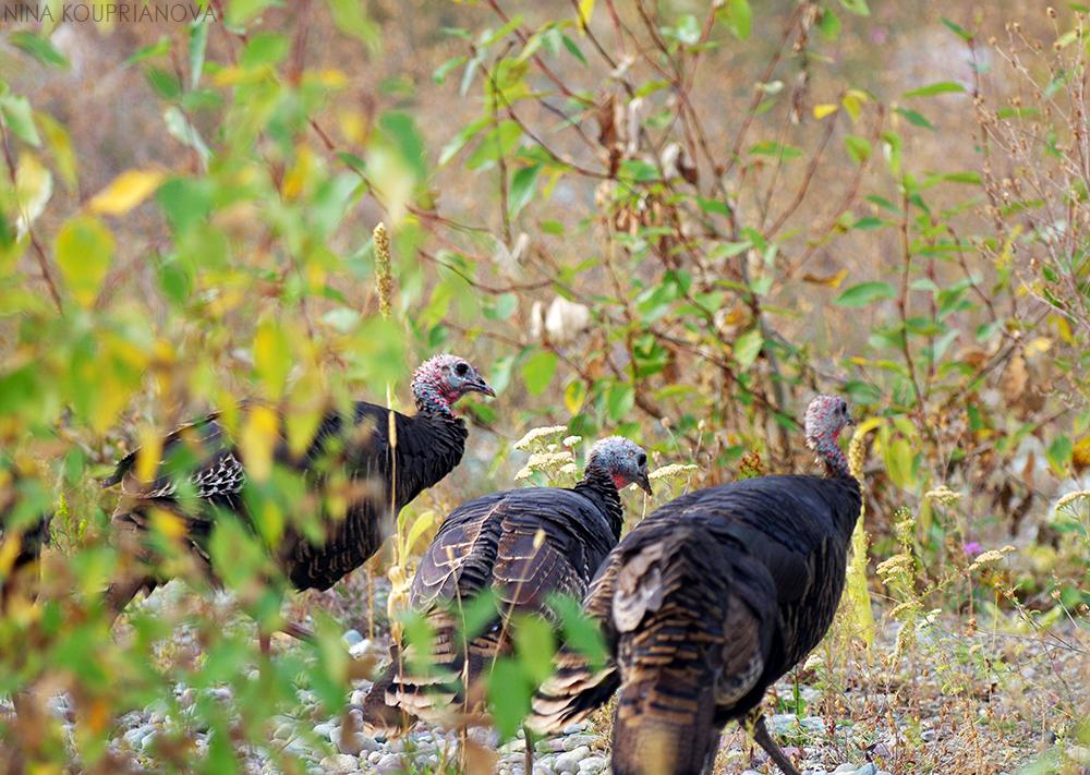 turkeys 10 1000 px url.jpg