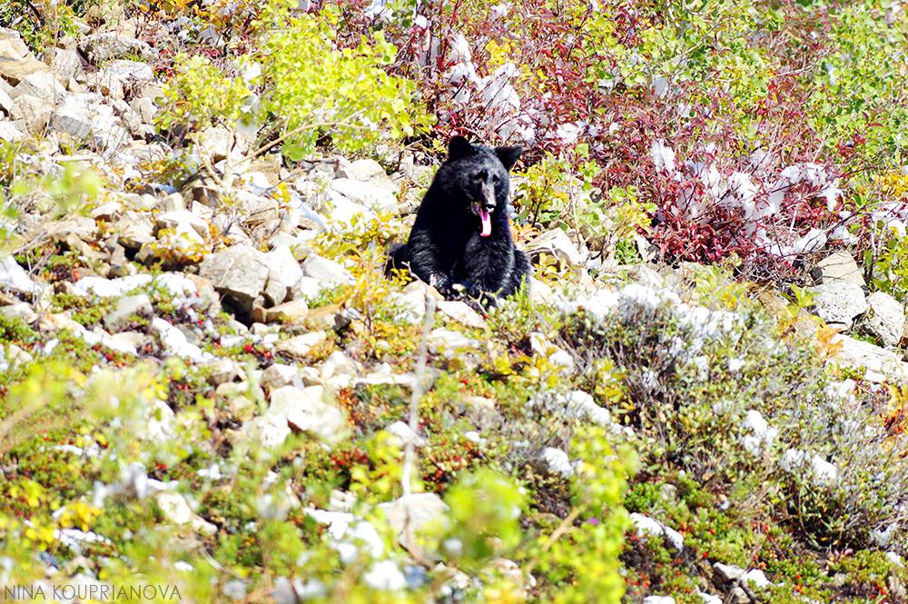 bear glacier 1 1000 px.jpg