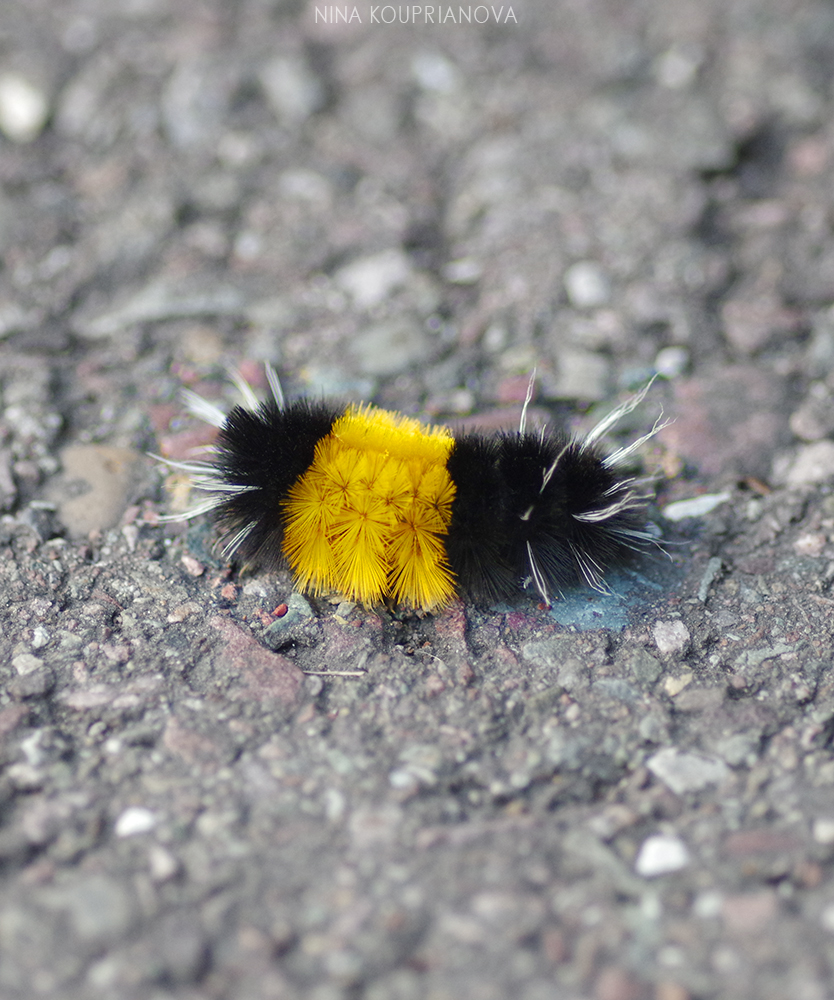 spotted tussock moth 1 1000 px.jpg