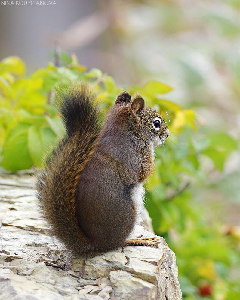 squirrel autumn 1 vertical 1000 px url.jpg