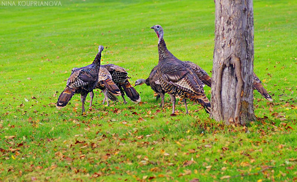 turkeys golf course 2 1000 px.jpg