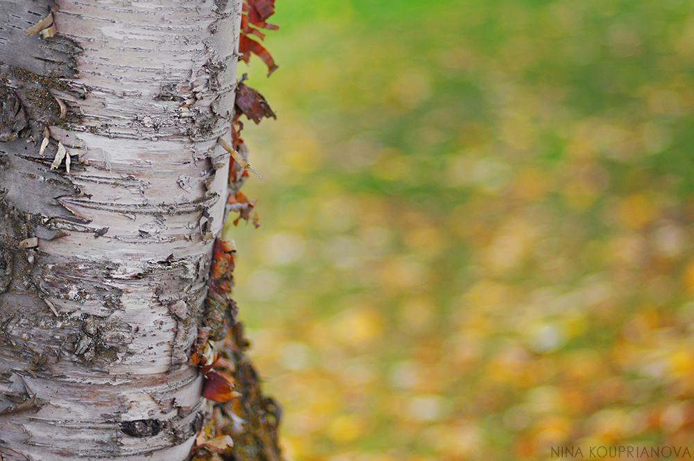birch closeup 1000 px url.jpg