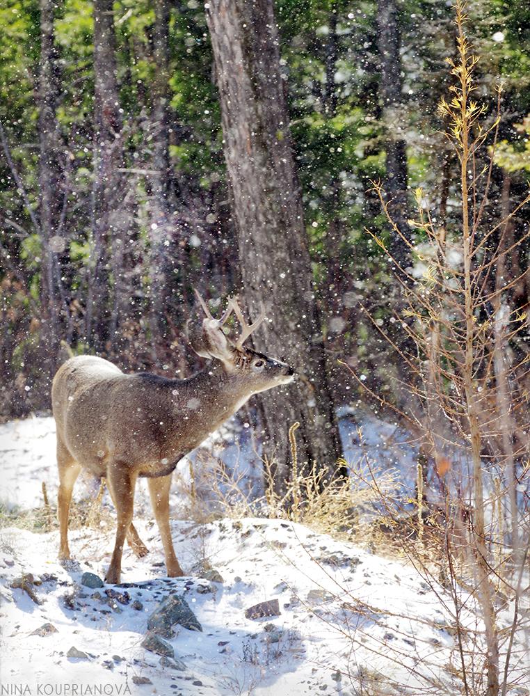 mule deer snowfall 1 1000 px.jpg