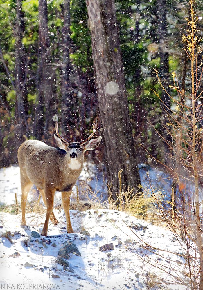 mule deer snowfall 3 1000 px.jpg