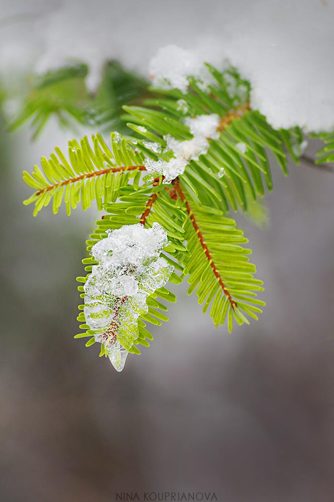 fir and ice 1000 px.jpg