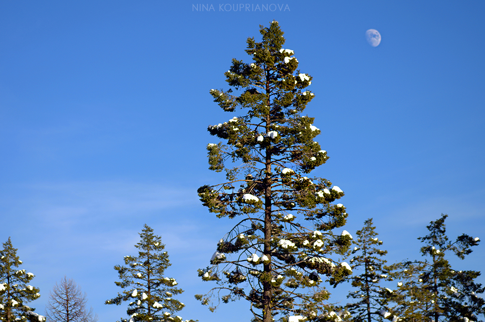 moon over forest 2 1000 px.jpg