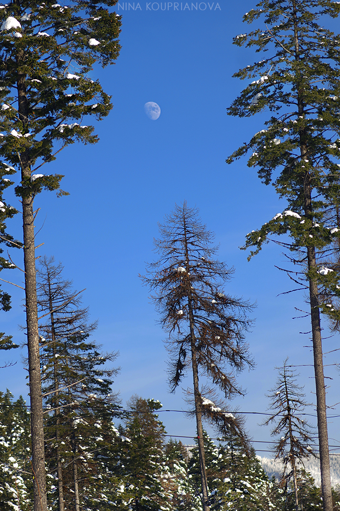 moon over forest 3 1000 px.jpg