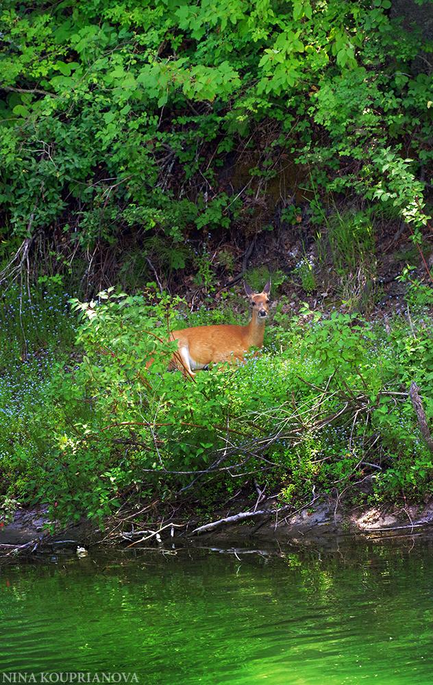 deer shade 1 1000 px.jpg