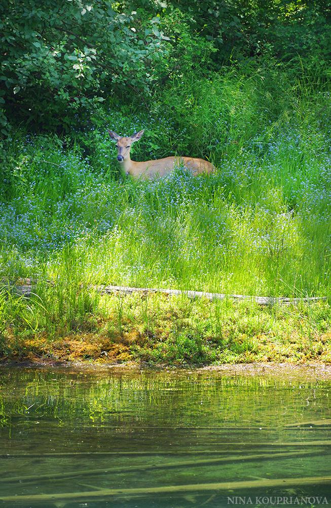 deer shade 2 1000 px.jpg