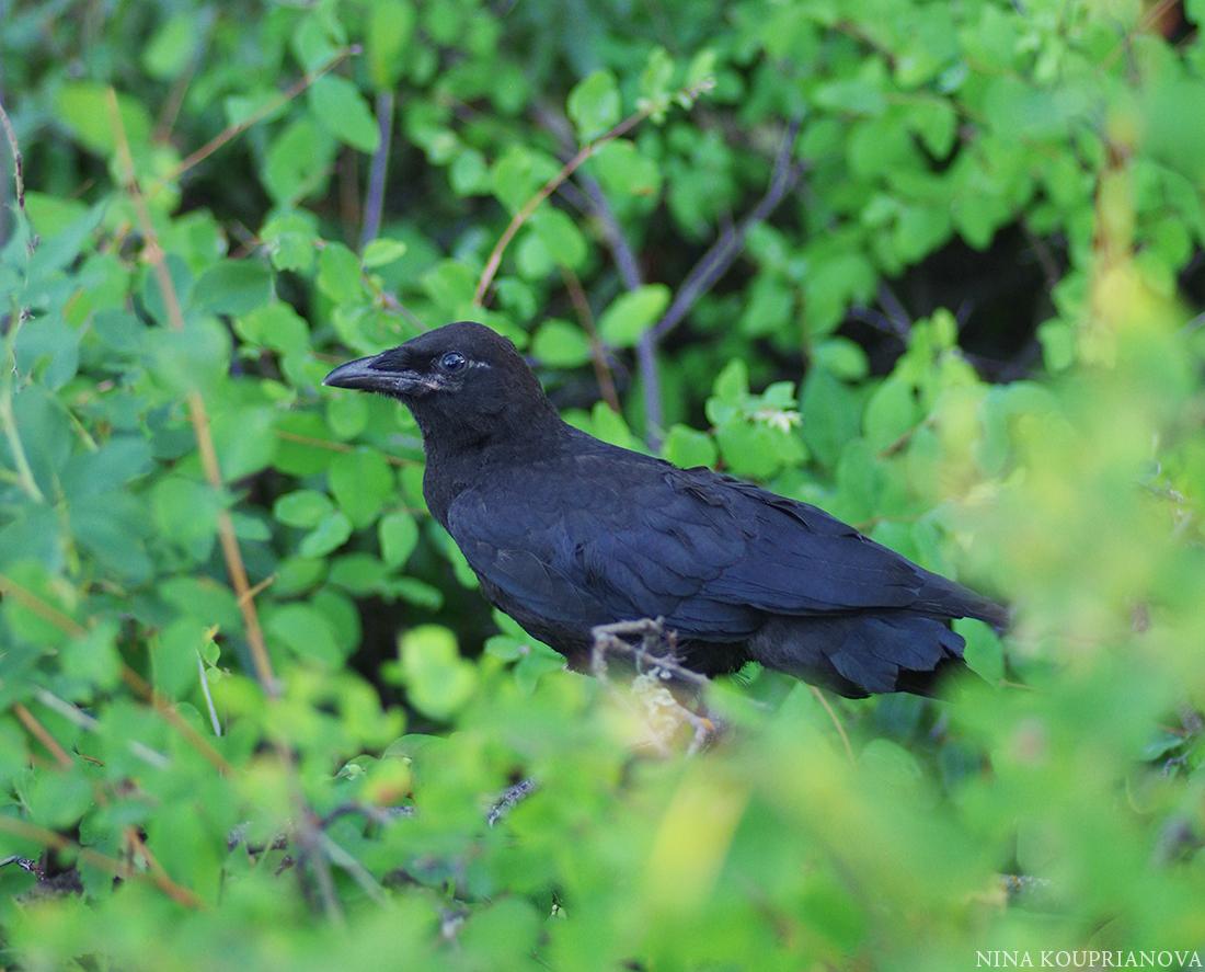 crow july a 1100 px.jpg