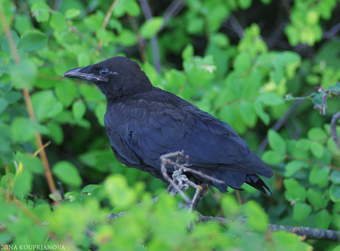 crow july b 1100 px.jpg