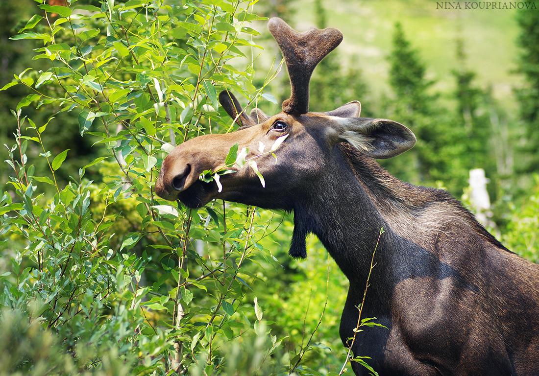 moose 2 1100 px.jpg