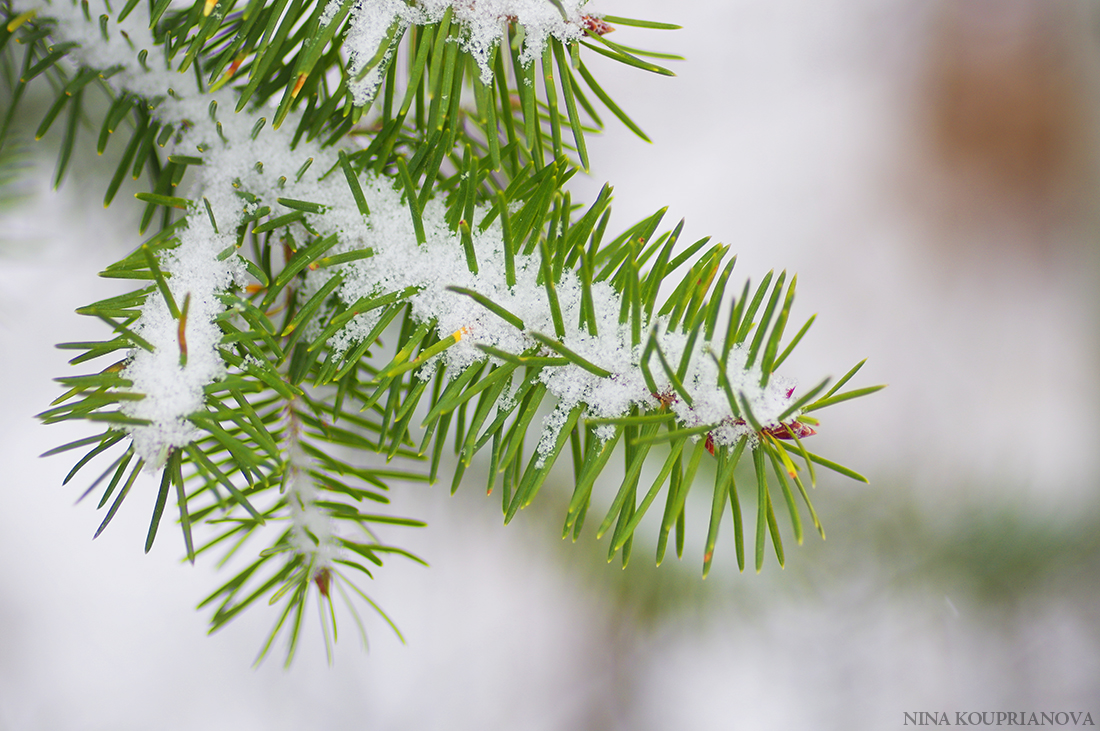 fir branches in snow 1100 px.jpg