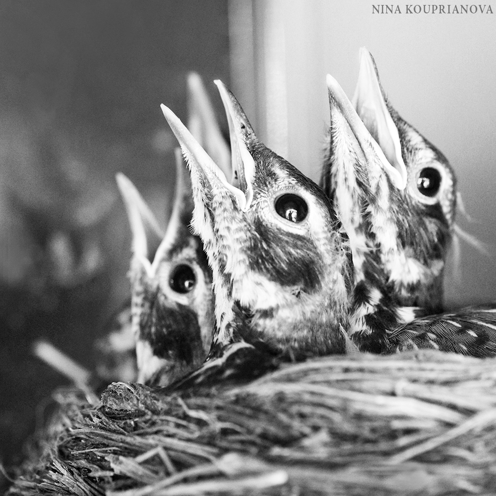 robin babies screaming square 1000 px.jpg