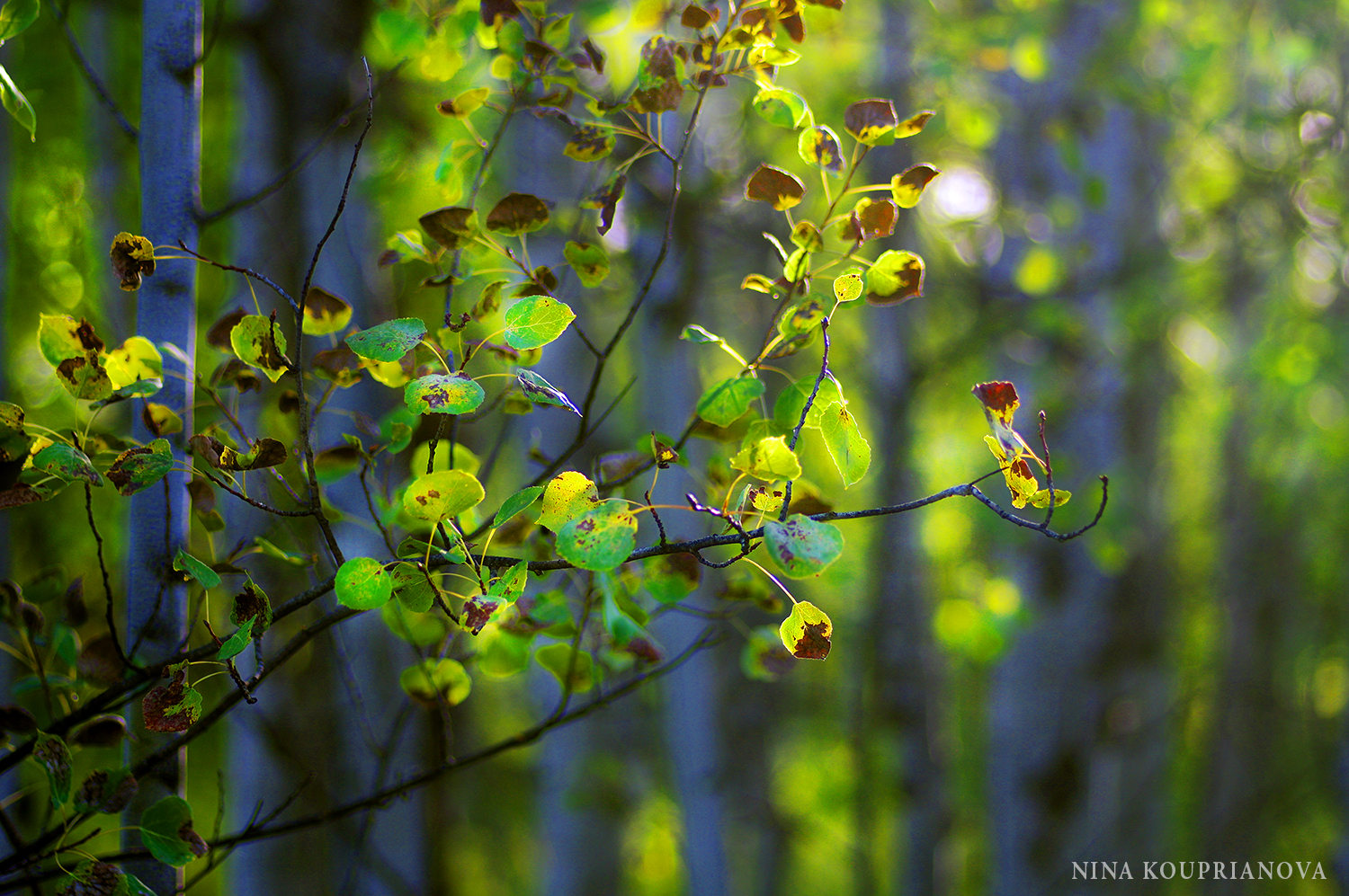 aspen golden hour august 2016 1500 px.jpg