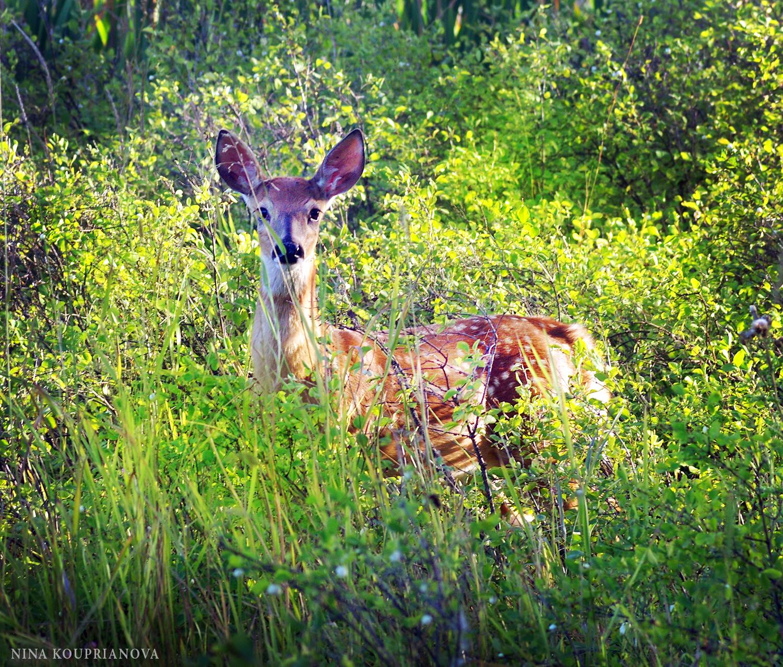 deer hidden 1500 px.jpg