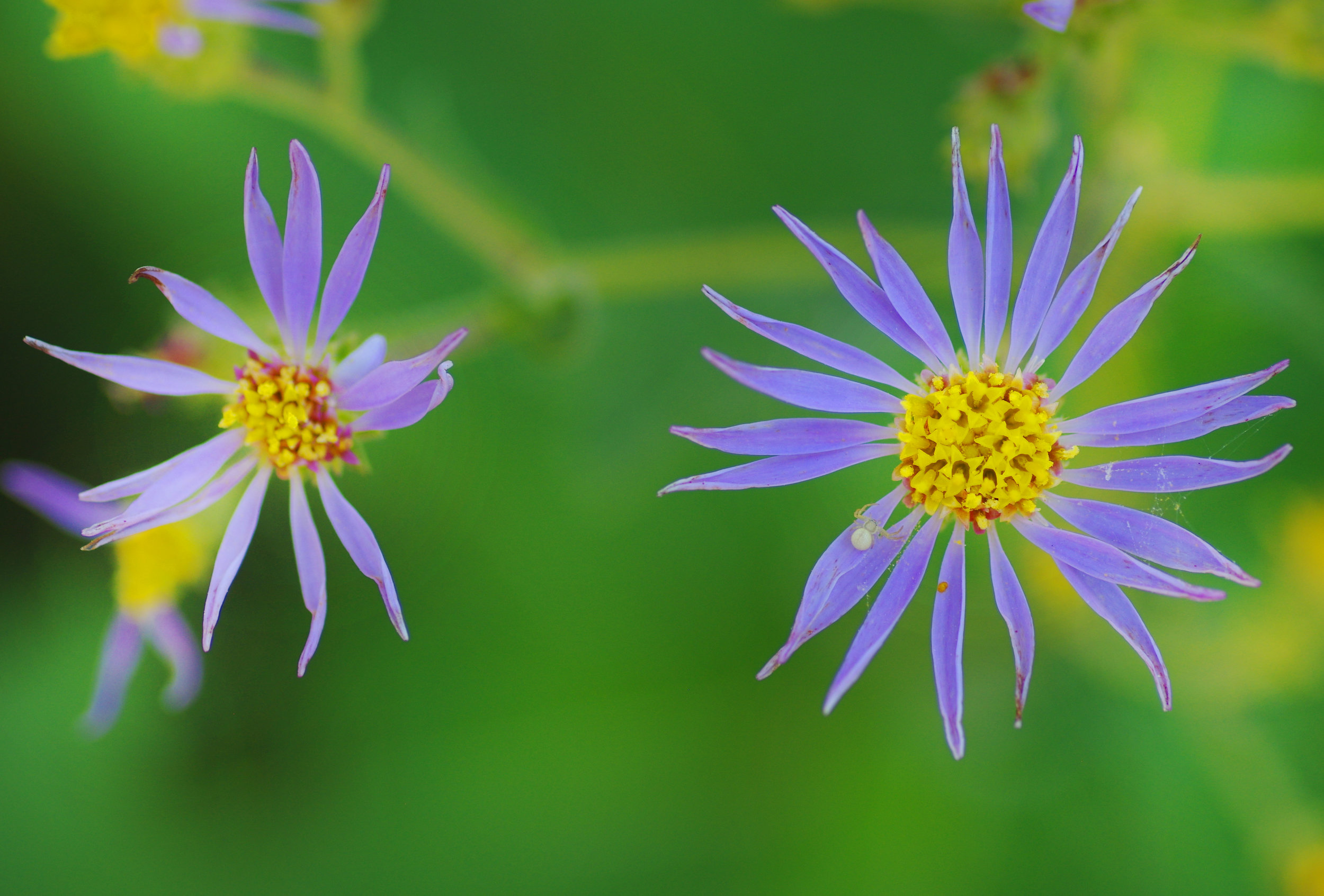 two purple flowers.jpg