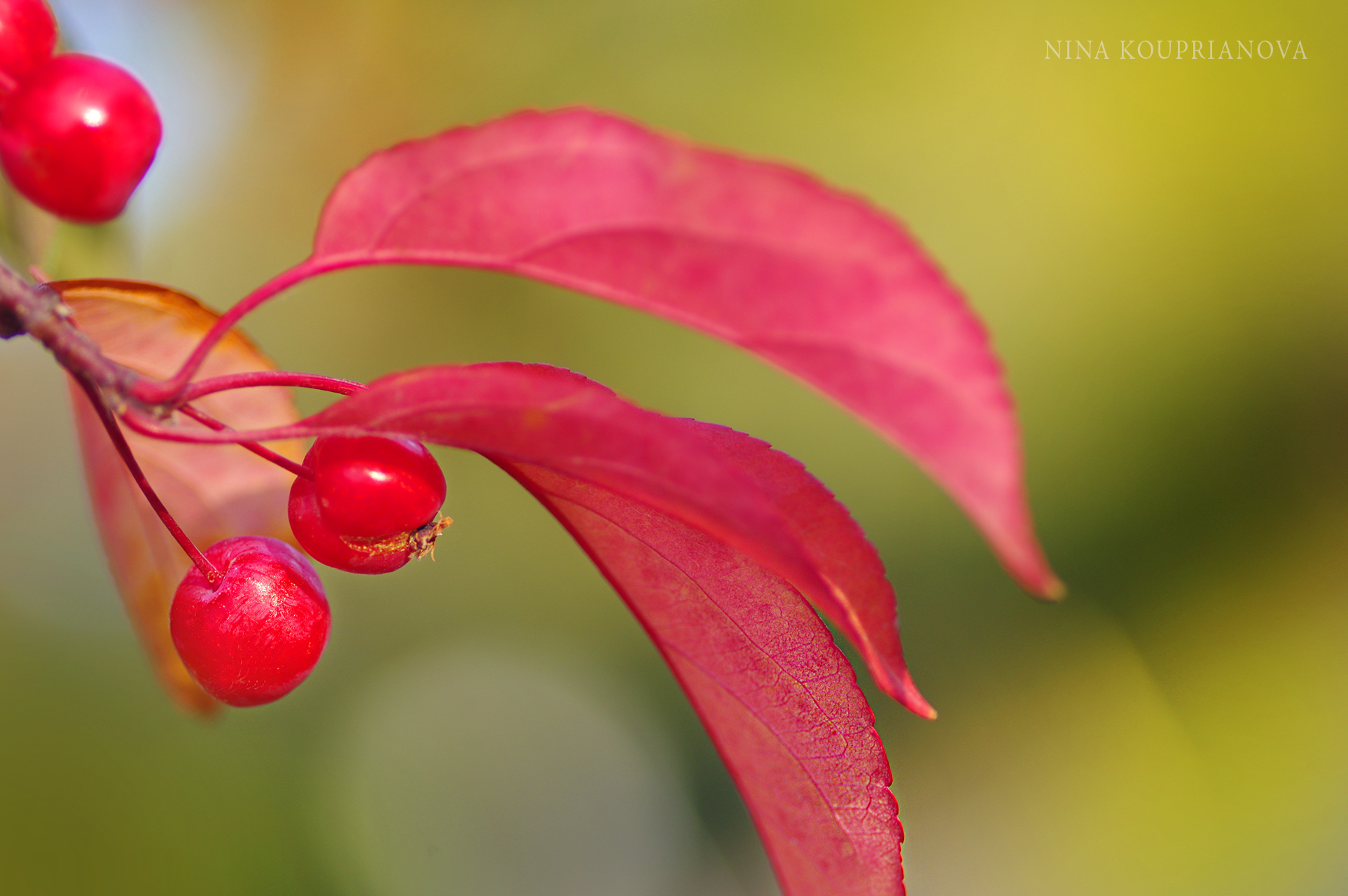 red berries and leaves 1900 px.jpg