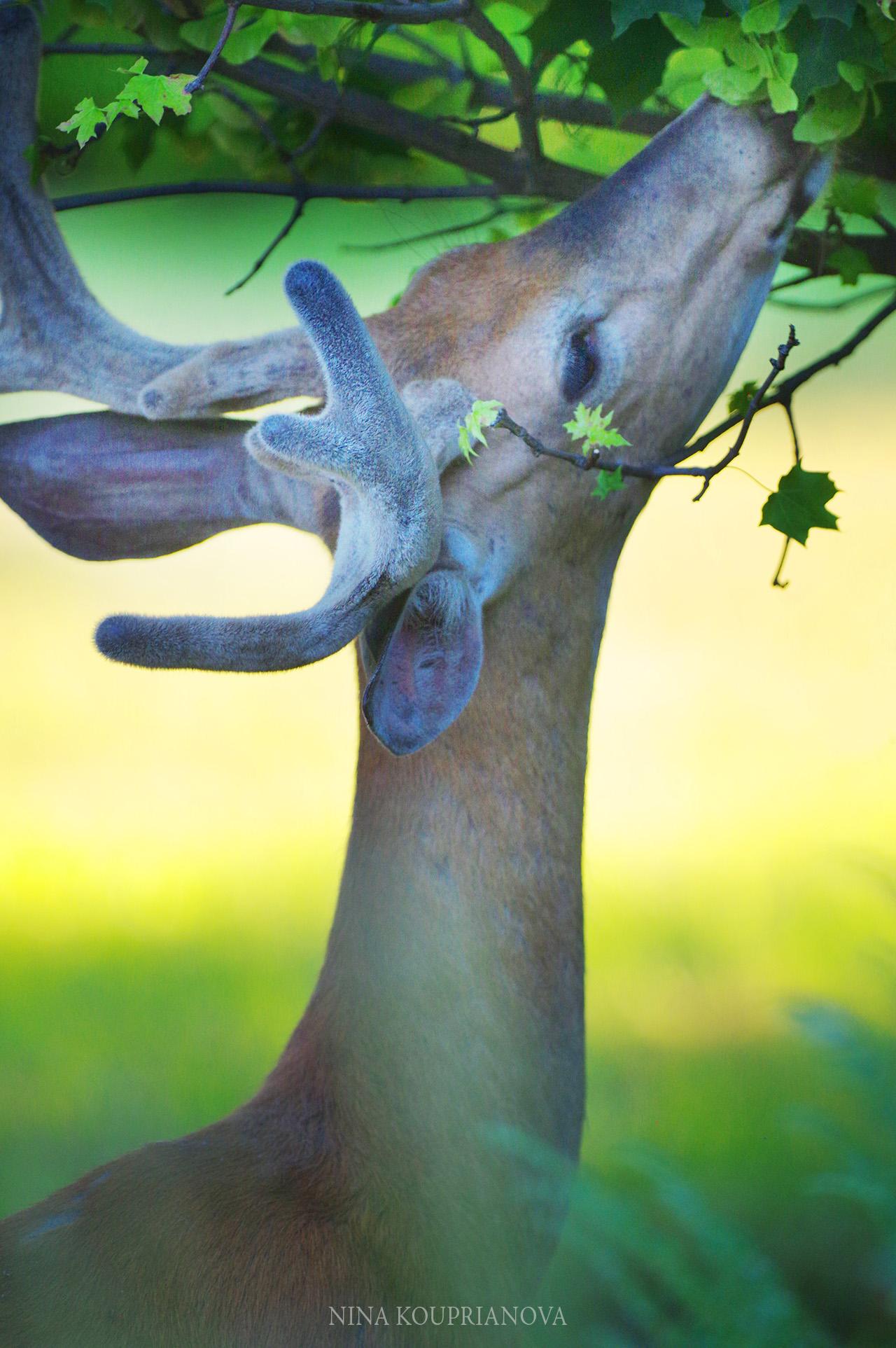 deer feeding july 2018 a 2000 px.jpg
