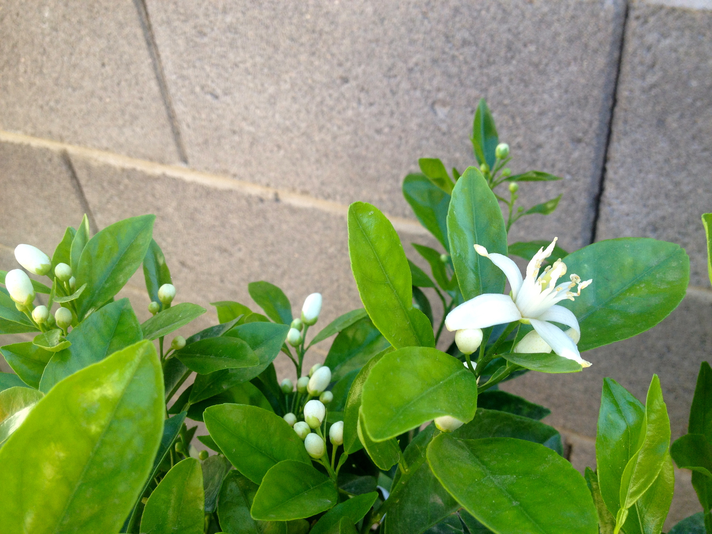 slather lemon blossoms.JPG