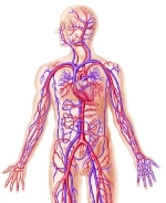 iStock-human-diagram-half1.jpg