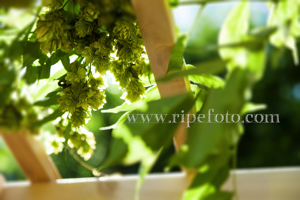 Hops on the vine dangle over by Ripe Photography.