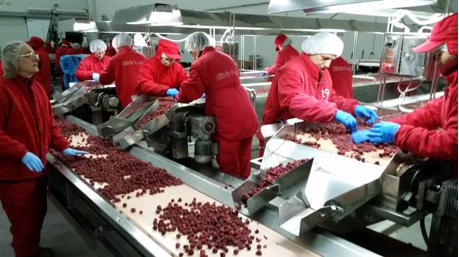 (ABOVE) Workers cleaning, sorting, and grading frozen goods