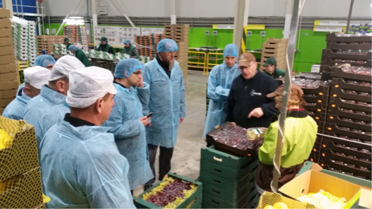 ABOVE: Cold store manager of UNIVEG Poland explains the process of sorting, grading and re-packing of table grapes