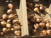 Potato or multiplying onion