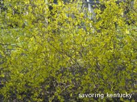 Forsythia at Our House, 2008