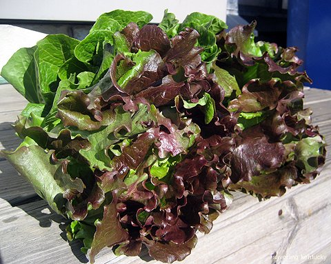 Perfect lettuces from Elmwood Stock Farm