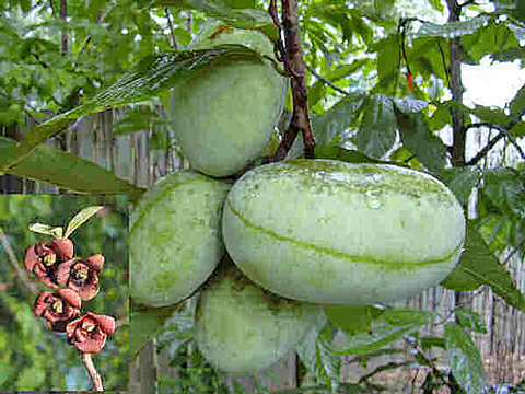Pawpaw fruits and blossoms