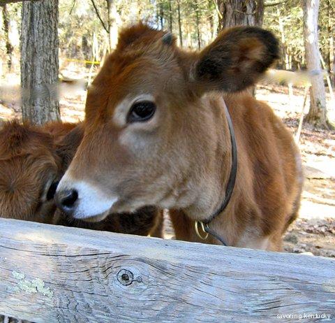 Jersey calf, Kentucky