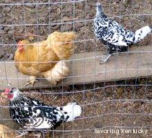 Lexington, Kentucky beautiful backyard chickens