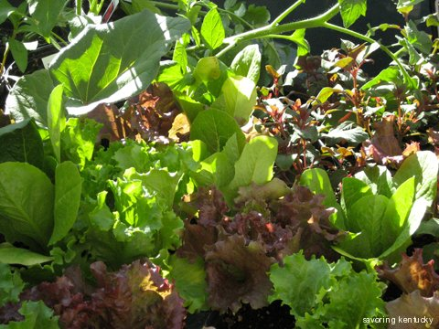 Lettuce and greens from Steve's Plants