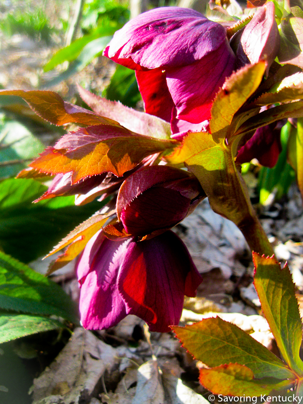 Spring helleborus