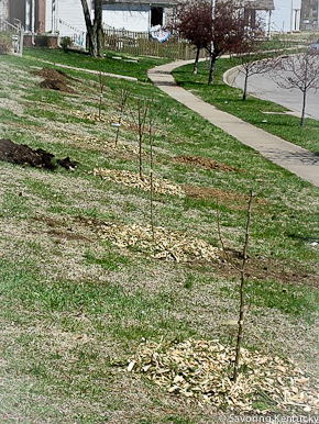 Newly planted urban fruit trees