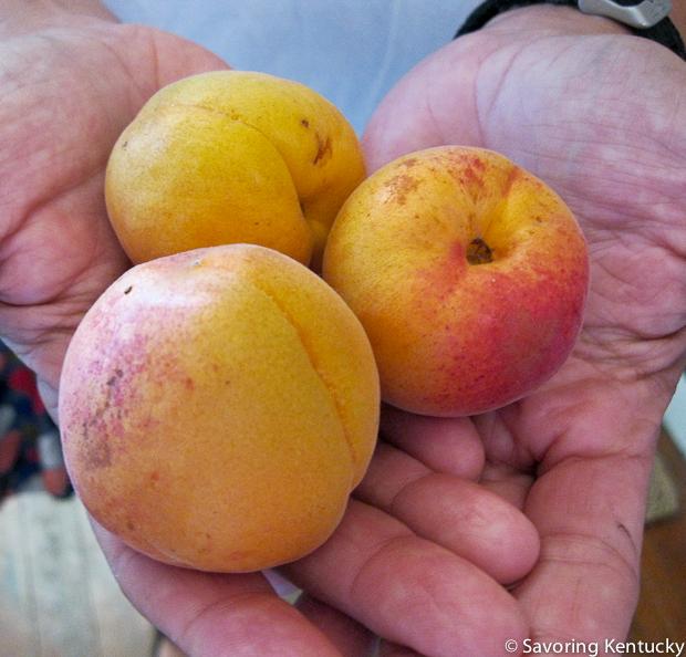 Local Fourth Street Farm Apricots, Lexington, Kentucky