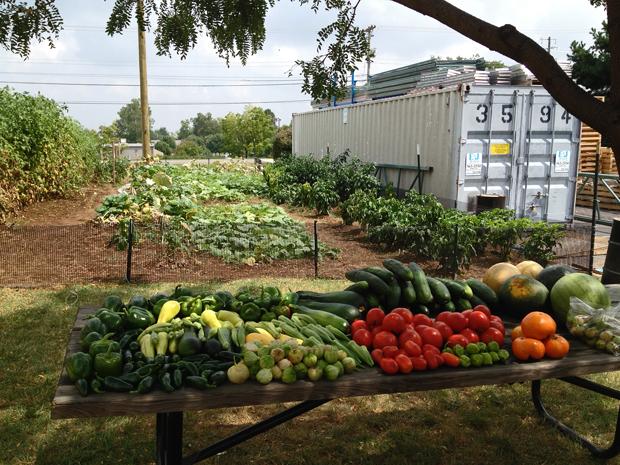 Company garden harvest at Big Fans, Lexington, Kentucky