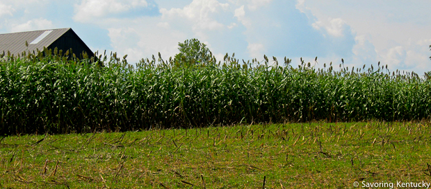 Sorghum nearly ready for harvest at Congleton Farm, Woodford County, Kentucky