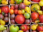 Hazelfield tomatoes