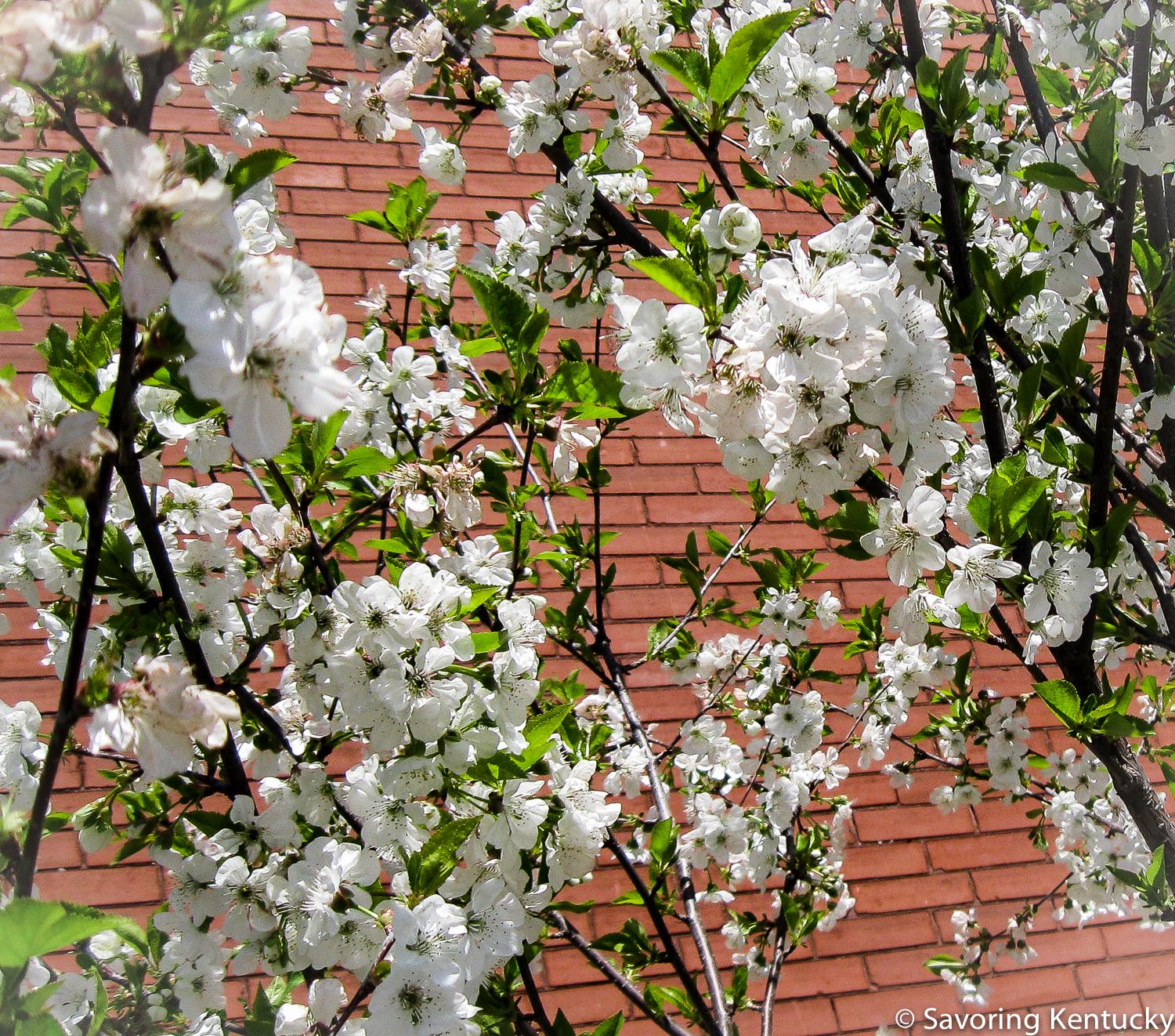 Young Montmorency cherry in bloom at Campsie Place.