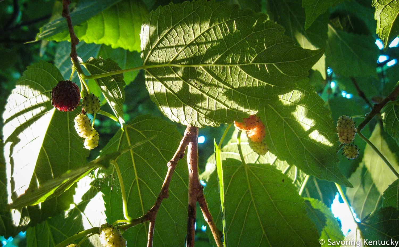 mulberry-3.jpg