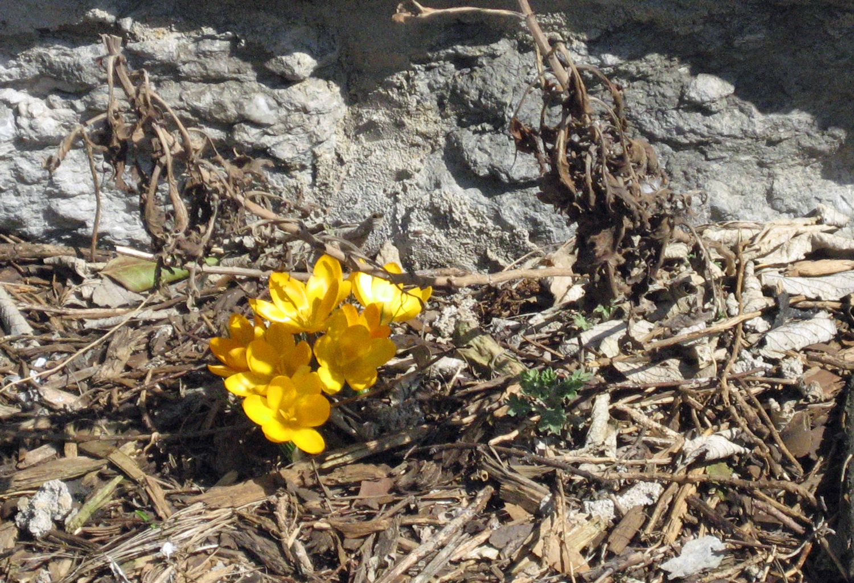 yellowcrocus.jpg
