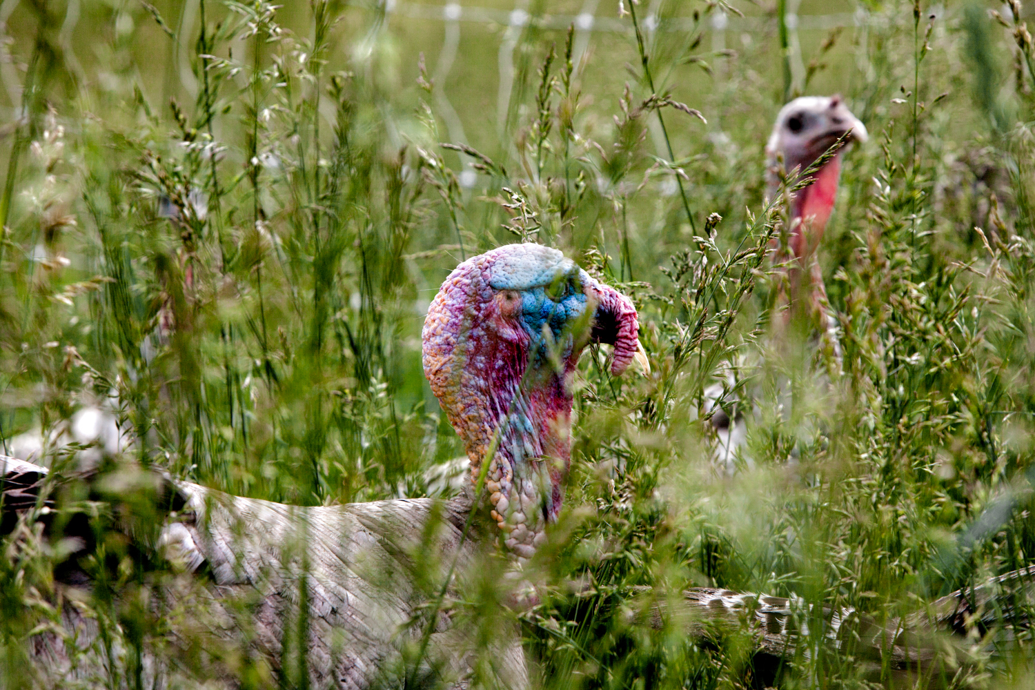 Turkeys in tall grasses at Elmwood Stock Farm. Photograph by Sarah Jane Sanders.